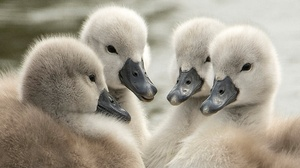 Baby Animal Cygnet Swan Wildlife 2048x1366 Wallpaper