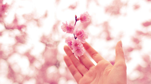 Cherry Blossom Hand 3840x2400 wallpaper