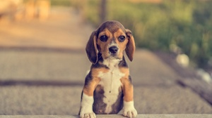 Baby Animal Beagle Dog Pet Puppy 4000x2667 wallpaper