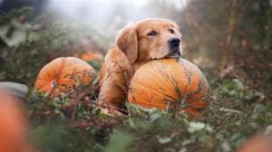 Dog Golden Retriever Pet Pumpkin 2048x1365 wallpaper