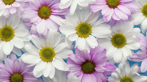 Earth Chrysanthemum 2560x1707 Wallpaper