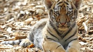 Wildlife Big Cat Baby Animal Cub 4277x3257 Wallpaper
