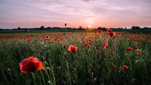 Field Flower Meadow Poppy Red Flower Summer Sunset 3840x2160 Wallpaper