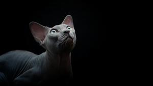 Cat Pet Sphynx Cat 3840x2160 Wallpaper