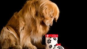 Dog Golden Retriever Pet 2048x1356 Wallpaper