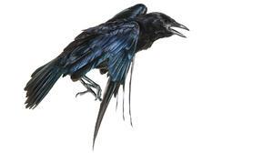 American Crow Animal Bird Crow 2123x1195 Wallpaper