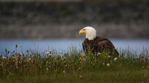 Bald Eagle Bird Of Prey Eagle Wildlife 1920x1080 wallpaper