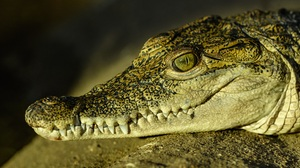 Close Up Crocodile Reptile Wildlife 6480x4117 Wallpaper