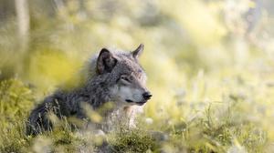 Wildlife Wolf Predator Animal 5923x3946 wallpaper