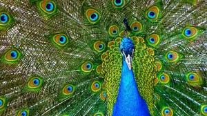 Bird Peacock Wildlife 1920x1401 wallpaper
