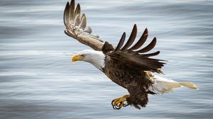 Animal Bald Eagle 1920x1200 Wallpaper