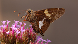 Animal Butterfly Flower Silver Spotted Skipper 2116x1797 Wallpaper