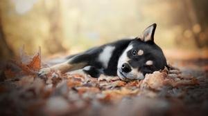 Baby Animal Depth Of Field Dog Fall Puppy Shiba Inu 2048x1365 Wallpaper