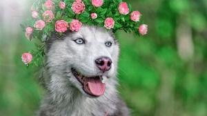 Dog Husky Pet Wreath 2803x1869 Wallpaper