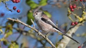 Berry Bird Passerine Titmouse Wildlife 4049x2615 wallpaper