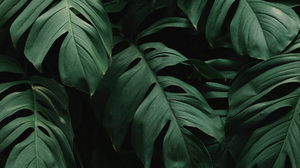 Plants Leaves Green Wide Screen Split Leaf Philodendron Monstera Deliciosa 2560x1080 Wallpaper
