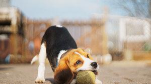 Baby Animal Beagle Depth Of Field Dog Pet Puppy 2048x1361 Wallpaper