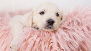 Baby Animal Dog Labrador Retriever Pet Puppy 2048x1320 Wallpaper