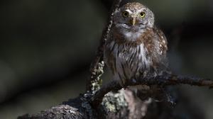 Bird Owl 6144x4433 Wallpaper