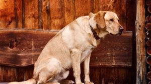 Dog Labrador Retriever Pet 4288x2848 Wallpaper