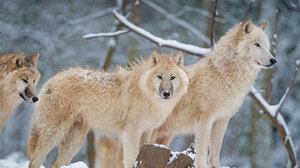 Nature Animals Wolf 1920x1080 Wallpaper