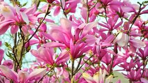 Blossom Branch Earth Flower Magnolia Pink Flower 2560x1600 Wallpaper