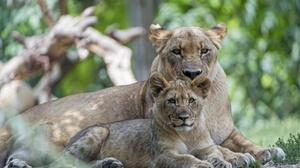 Baby Animal Big Cat Cub Lion Wildlife Predator Animal 3000x2000 wallpaper
