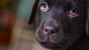 Baby Animal Labrador Retriever Pet Puppy 4486x3133 Wallpaper