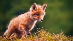 Baby Animal Cub Fox Wildlife 2500x1786 Wallpaper