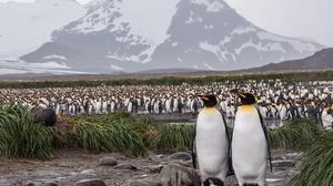 Emperor Penguin Penguin Wildlife 2560x1696 Wallpaper