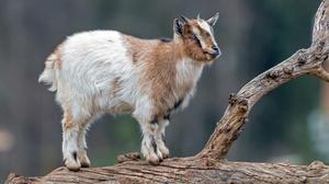 Goat 3840x2160 wallpaper