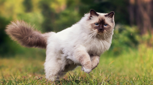 Blue Eyes Cat Himalayan Cat Jump 2000x1438 Wallpaper