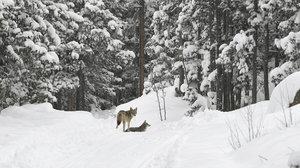 Forest Snow Winter Trees Wolf Nature Wildlife 1920x1080 Wallpaper