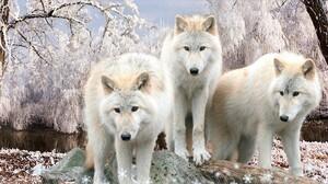 White Wolf Winter Snow Wildlife Predator Animal 1920x1080 Wallpaper