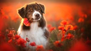 Australian Shepherd Dog Flower Pet Poppy 2048x1365 Wallpaper