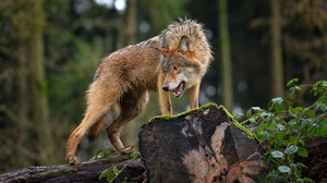 Wildlife Wolf Predator Animal 1920x1080 Wallpaper