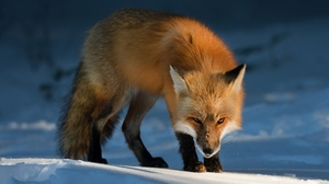 Fox Snow Stare Wildlife 2500x1730 wallpaper