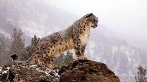 Snow Leopard Snow 2560x1447 Wallpaper