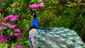 Bird Peacock Pink Flower 6000x4000 wallpaper