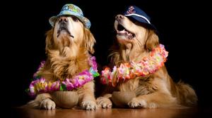 Dog Golden Retriever Hat Pet 2048x1356 Wallpaper