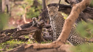 Big Cat Leopard Wildlife Predator Animal 2000x1333 wallpaper