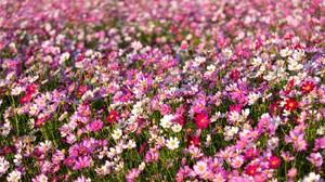 Cosmos Earth Field Flower Pink Flower White Flower 1920x1200 Wallpaper