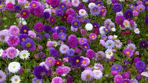Daisy Field Flower Pink Flower Purple Flower White Flower 3605x2403 Wallpaper