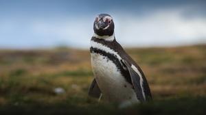 Penguin Wildlife 1920x1280 Wallpaper