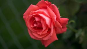 Macro Rose 4592x3280 Wallpaper