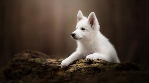Baby Animal Dog Pet Puppy Swiss Shepherd 2048x1363 wallpaper
