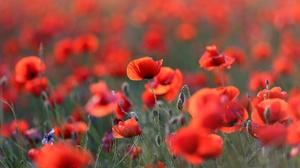 Flower Nature Poppy Red Flower Summer 2048x1365 Wallpaper