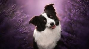 Border Collie Depth Of Field Dog Heather Pet 2048x1363 Wallpaper