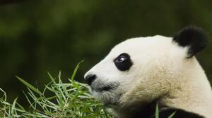 Animal Panda 2560x1600 Wallpaper