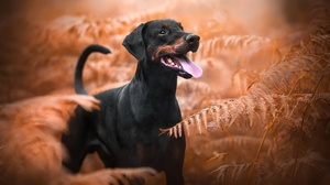 Doberman Pinscher Dog Fall Fern Pet 2048x1363 wallpaper
